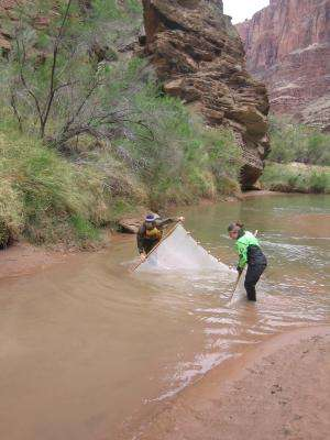 Dams destabilize river food webs: Lessons from the Grand Canyon