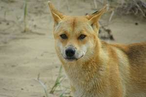 Dingo parasite causes concern for indigenous communities