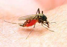 Disease-carrying mosquitos pack twice the punch