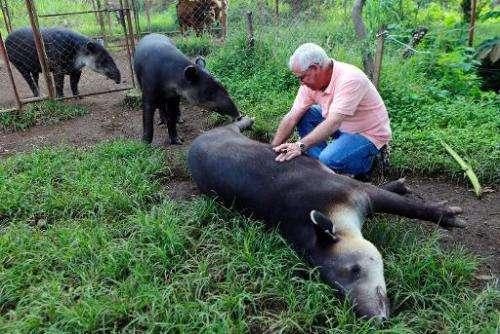 Doctor Eduardo Sacasa pets a Tapir at the zoo in Masaya, Nicaragua on September 25, 2013