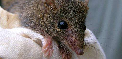 Doing it to death: Suicidal sex in 'marsupial mice'