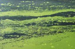 Duckweed as a cost-competitive raw material for biofuel production