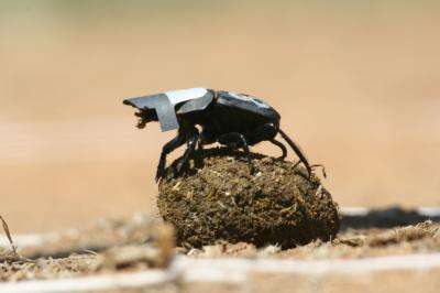 Dung beetles use stars for orientation