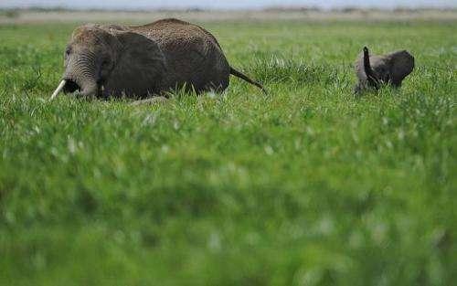 Elephants at a game reserve in Kenya on December 30, 2012