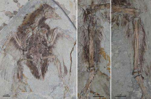 Early birds had four wings, not two, study reports
