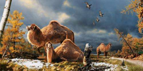 Extinct giant camel found far from the desert in Arctic discovery