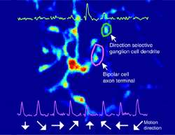 First to measure the concerted activity of a neuronal circuit