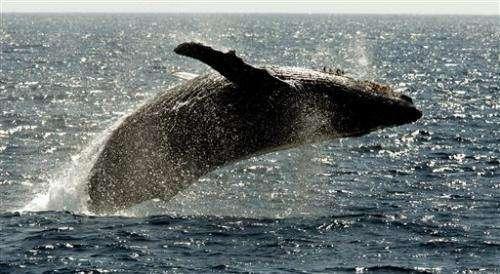 Fishermen want humpback whales off endangered list