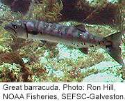 Fish like grouper, barracuda may pose food-poisoning risk