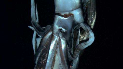 Footage released on January 7, 2013 shows a giant squid filmed at a depth of 630m in the sea near Ogasawara islands