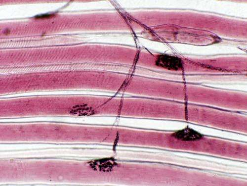 Free-standing 3D skeletal muscle constructs created in the lab