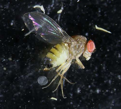 Fruit-damaging fly could hit record population in Northwest this year