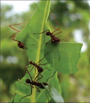 Fungal genome offers clues on how leaf-cutter ants farm