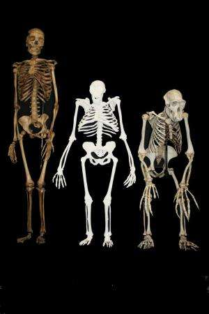 Australopithecus sediba hominid: New study reveals how human ancestor walked, chewed, and moved
