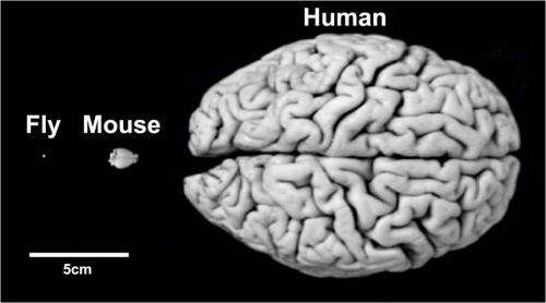 'Strikingly similar' brains of man and fly may aid mental health research