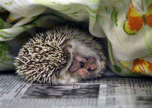 Hedgehog Alert! Prickly pets can carry salmonella