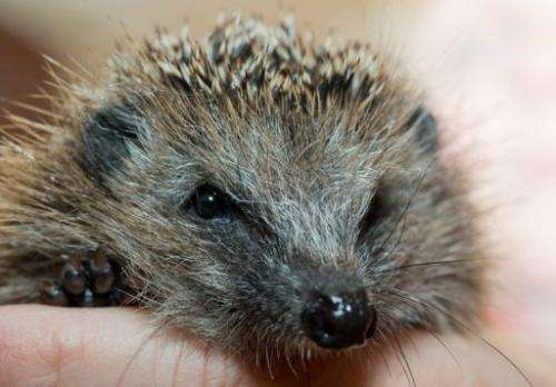 Hedgehogs and red squirrels are continuing to shrink in number in Britain, a study shows