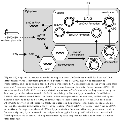 Hepatitis B virus control: identifying proteins in mutation management