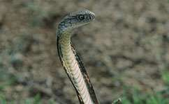 How did the cobra get its bite?
