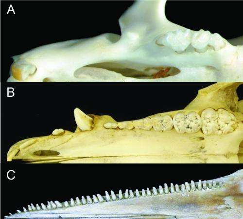 How the whale got its teeth