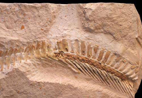 Mosasaur fossil proves the early lizards had tails like sharks