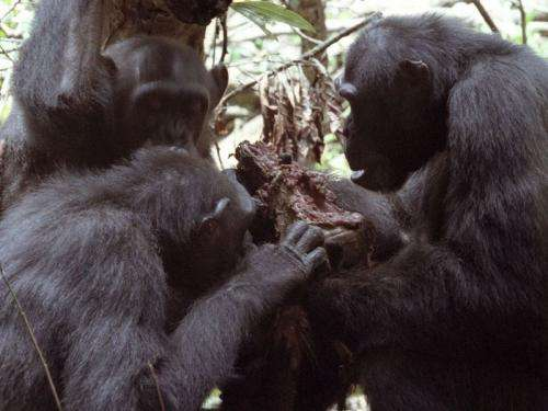 In chimpanzees, hunting and meat-eating is a man's business