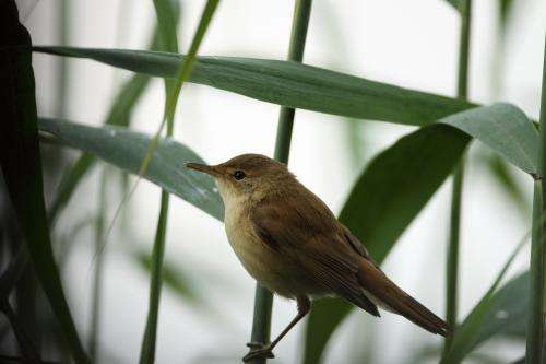 Infidelity and paternity in reed warblers
