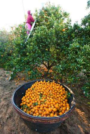 In the 1990s, Florida citrus growers produced more than 200 million boxes, but this year that is expected to drop to 133 million