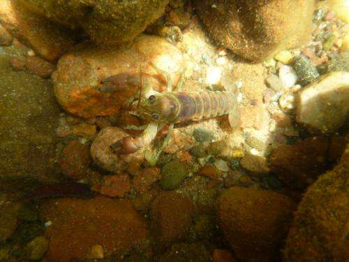 In whole-lake experiment, have invasive crayfish met their match?