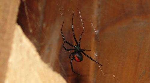 Is redback spider antivenom effective?