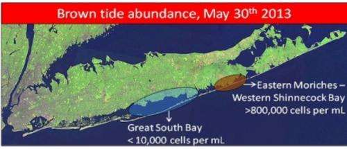 Lab finds brown tide has emerged in Moriches, Quantuck and Shinnecock Bay--not in Great South Bay