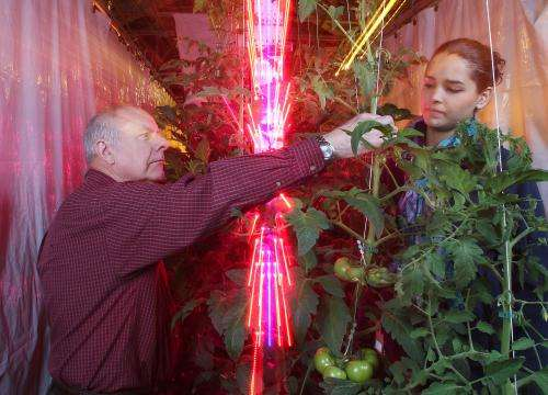 LEDs reduce costs for greenhouse tomato growers, study shows