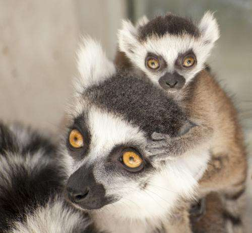 Lemur babies of older moms less likely to get hurt