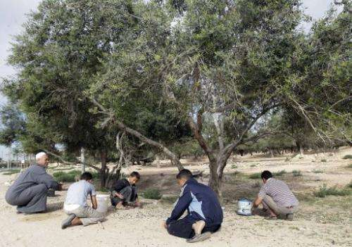 Libyan men pick olives in a grove in the town of Zliten, 160 kms east of the capital Tripoli, on November 11, 2011