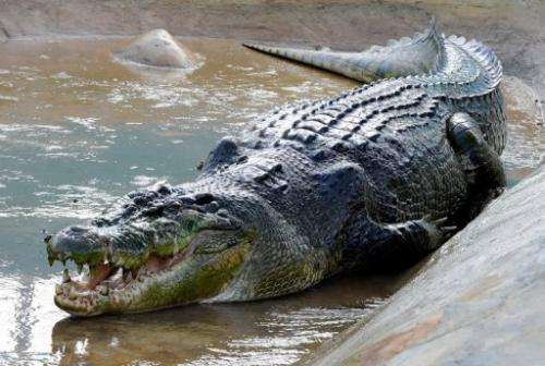 Lolong, world's largest saltwater crocodile in captivity, pictured in Bunawan, the Philippines, on September 21, 2011