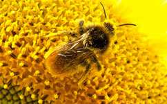 Lonely bees make better guests