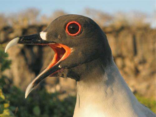 Lunar cycle determines hunting behavior of nocturnal gulls