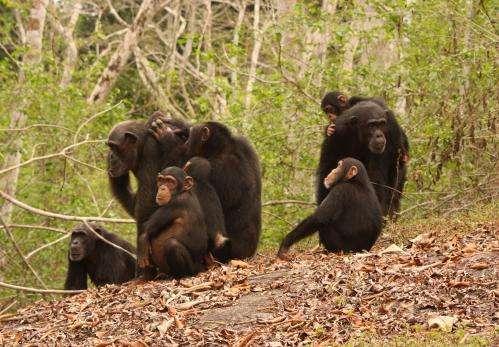 Malaria protection in chimpanzees