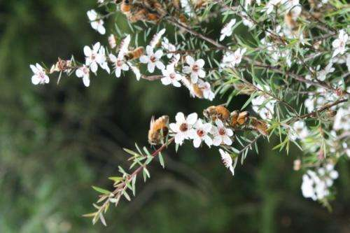 Manuka honey opens door for effective treatment of chronic wounds