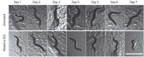 Mating is the kiss of death for certain female worms