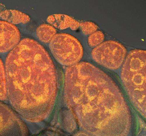 Mitochondrial mutations: When the cell's two genomes collide
