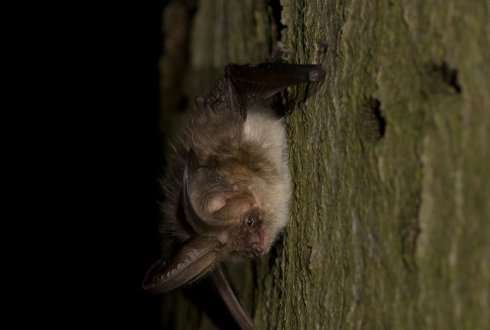 More opportunities for bats in forts along the New Dutch Waterline