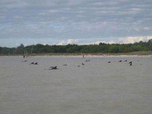 More than 40 pilot whales are shown stranded in shallow water on December 4, 2013 in a remote region of Florida's Everglades Nat