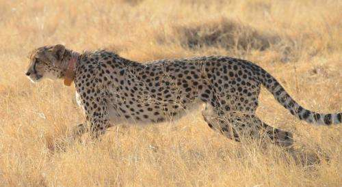 Cheetah's acceleration, not speed, power key to their success