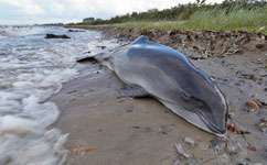 Naval activity may contribute to porpoise strandings