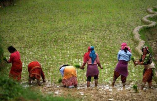Nepalese farm workers plant rice in a paddy field in Changu Naryan village on the outskirts of Kathmandu on July 5, 2013