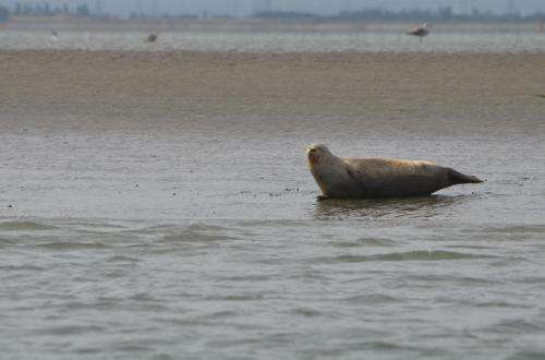 New survey reveals seal numbers in the Thames