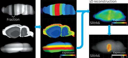 New technique comprehensively generates three-dimensional maps of gene expression in the brain