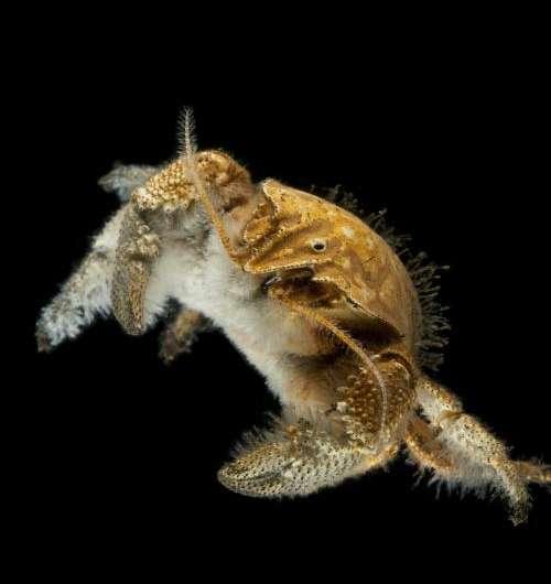 Origins of 'The Hoff' crab revealed