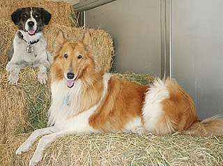 Purebred dogs not always at higher risk for genetic disorders, study finds